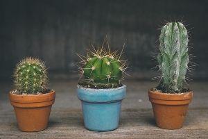 como regar cactus